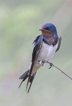 Pretty Birds, Love Birds, Beautiful Birds, Animals Beautiful, Cute Animals, Bird Identification, Barn Swallow, Bird Wings, Tier Fotos