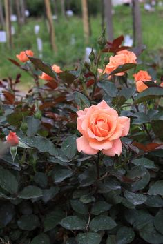 'Coral Sweet Dream' | Patio Rose. Fryers 2013