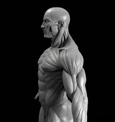 This is a high poly model of the male human figure with extremely accurate anatomy. I would be very impressed if you found a more accurate model anywhere els.