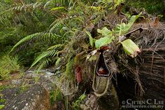 Nepenthes eymae. A large pitcher plant grows...