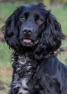 Purebred working type cocker spaniel.