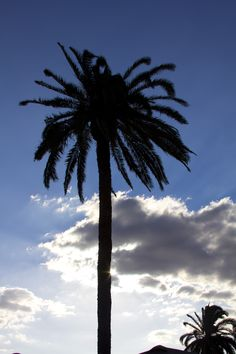 A palm tree on State near Florida Ave. June 29, 2011