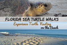 As Florida's Sea Turtle nesting season begins, find out where you can join a Turtle Walk while watching a mother lay her eggs on the beach, an amazing wonder of nature