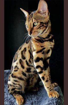Bengal Cats Bengal Cats Tap the photo for more BENGAL cat posts? The post Bengal Cats appeared first on Katzen. Cute Cats And Kittens, Cool Cats, Kittens Cutest, Kittens Playing, Pretty Cats, Beautiful Cats, Animals Beautiful, Hello Beautiful, Beautiful Creatures