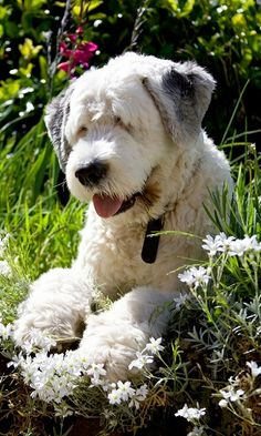 Murphy, the old english sheepdog. | Flickr - Photo by Sam_Catch