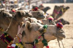An astonishing camels converge on the tiny desert town of Pushkar, in India's state of Rajasthan, for the Pushkar Fair. Find out what you need to know about this famous Indian festival in this guide. Festivals Of India, Indian Festivals, Camels, Places To Visit, Tours, Japan, Animals, Html, Bucket