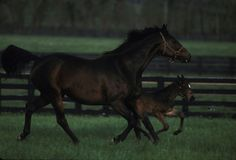 Weekend Surprise and filly Weekend in Seattle in paddock at  Lane's End Farm in Versailles, Kentucky. Weekend Surprise, daughter of Secretariat-Lassie Dear, was 1992 Kentucky Broodmare of the Year and the blue hen dam of AP Indy, Summer Squall, Honor Grades (sire of 32 stakes winners), Tiger Ridge (sire of 30 stakes winners), and Weekend Storm (dam of 2011 Breeders' Cup Mile winner Court Vision and granddam of 2007 Breeders' Cup Mile winner Kip Deville.)