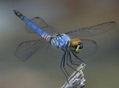 Beautiful blue Palemouth (Brachydiplax denticauda) dragonfly out at Gubarra pools by jonclark2000, via Flickr