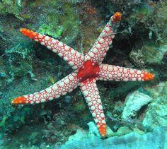 Starfish | Saltwater Star Fish | Blue Linckia | Orange Sea Star|