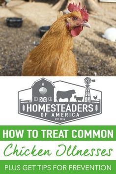 The reality is that sick or hurt chickens can happen to just about anyone. Of course, there are certainly things you can do to prevent illness and mishaps. Let's take a look at some of the common chicken illnesses and ailments, and also, how to treat them effectively. #homesteading #selfsufficiency #chickens #backyardchickens Meat Chickens, Raising Chickens, Chickens Backyard, Chicken Illness, Modern Homesteading, Sick, Prepping, Survival, Treats