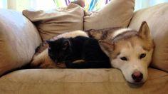 Sleepy Husky = Warm Bed For A Cat