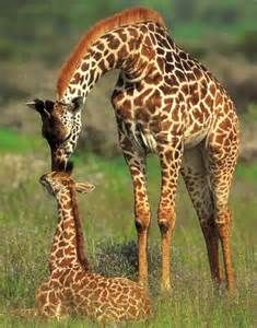 """For centuries it was thought that giraffes were mostly silent except with the odd hiss or grunt, however, recent science has shown that giraffes are able to communicate over very long distances using """"infrasound"""". This is a very low frequency that can not be heard by the human ear, however, it is able to travel up to hundreds of miles away from the source.."""
