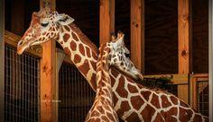 Watch Giraffe Cam Live Stream Online, Animal Park Says Birth Is Imminent [Video]