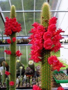 .bellas flores de Cactus!