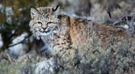 Bobcat | Basic Facts About Bobcats | Defenders of Wildlife - See these in their natural element at Phinizy Swamp Nature Park!