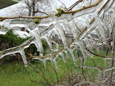 Winter icicles on bush. By Destiny Richards
