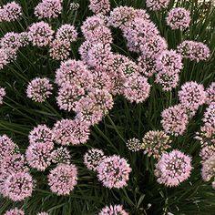 Summer Skies' allium Allium tanguticum 'Summer Skies' bears lavender-blue flowers in midsummer on stems. Deer Resistant Garden, Summer Sky, Lavender Blue, Allium, Blue Flowers, Natural Beauty, That Look, Bloom, Bulb