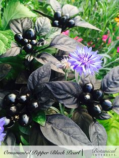 One look at Black Pearl and it is easy to see why it won the AAS award. With its distinctive semi-glossy, deep purple to black leaves, and scores of shiny round black fruit, it just gets better as the season progresses; as the plant matures, the black peppers turn red, adding new color and interest. Read more: https://www.botanicalinterests.com/product/ornamental-pepper-black-pearl-seeds/