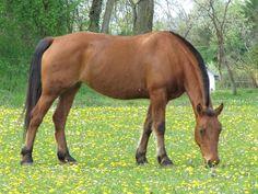 Les fonds d'écran - Un cheval bai au pâturage Illustrations, Horses, Images, Animals, Bay Horse, Horse Photos, Baby Pets, World, Animales