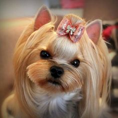 "Visit our site for more information on ""Yorkshire Terriers"". It is an excellent area to find out more. Yorky Terrier, Yorshire Terrier, Bull Terriers, Yorkies, Yorkie Puppy, Corgi Puppies, Yorkshire Terrier Haircut, Yorkshire Terrier Puppies, Yorkie Hairstyles"
