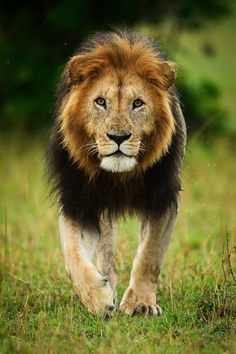 1000 images about king of the beasts on pinterest lion