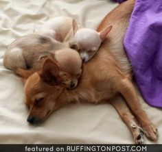 Mom and babies chihuahuas