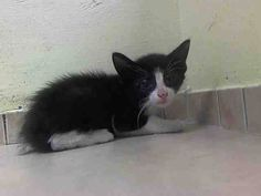 MURDERED 9/20/14 by NYC ACC My name is MR BRINKS ID # A1014221, I'm a male black & white dsh mix, 6 WEEK old kitten. MR BRINKS was brought into the shelter as a stray. He has the kitty cold and that will be easily cured by some antibiotics. However the ACC wants to not only get rid of the cold, they want to get rid of MR BRINKS TOO! FOSTERING WILL SAVE HIS LIFE - Rest in peace, sweet baby. :(