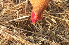 Chickens are a great way to keep bug and pest populations to a minimum and you get fresh eggs!
