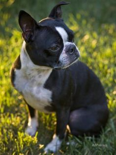 Boston Terrier Sits at Attention in the Grass at Sunset Photographic Print by Hannele Lahti at AllPosters.com