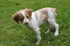Brittany Spaniel Pup ~ Classic Look Baby Puppies, Cute Puppies, Cute Dogs, Dogs And Puppies, Doggies, Puppy Pictures, Dog Photos, Brittany Spaniel Puppies, Spaniel Breeds
