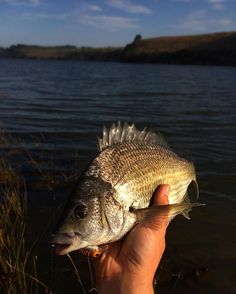A better fish to finish off another late afternoon session! Very lucky to have the Hopkins river right out the back of the university I go to! Today I had a flick before I came in for the day and went down for a second session after I finished. This time I caught a few off the reed edges and flats on shallow diving atomic cranks! #blackbream #bream #fishing #fishingvictoria #fishingaustralia #atomiclures #southwestvic #hopkinsriver #warrnambool #catchandrelease #landbasedfishing by fishco_