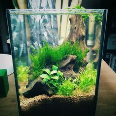 aquaowner: First update on my 4l unfiltered, unheated tank. Doing 75% waterchanges every 2 days. Light is a 6.500k 8W LED Bulb, currently running for 7h/day. Flame Moss, Lilaeopsis & Anubias barteria var. nana bonsai.