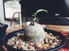 monadenium capitatum