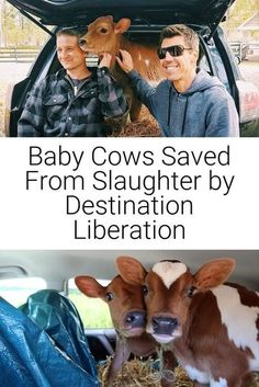 """When it comes to saving the lives of young calves, no place is too far or task too impossible for Jason Bolalek. He is the passionate Executive Director and operator of Destination Liberation, a Vermont-based rescue service which has found homes for nearly 40 former meat and dairy industry calves at sanctuaries throughout the nation. ❤🐮🐮🐮🐮🐮🐮🐮🐮🐮🐮🐮🐮🐮 """"I WALKED INTO THE FARM AS A VEGETARIAN AND WALKED OUT AS A VEGAN."""" Natural Parenting, Gentle Parenting, Vegan Books, Vegan Facts, Vegan Quotes, Baby Cows, Vegan Animals, Attachment Parenting, Worlds Of Fun"""