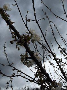 Cielo nero, fiore bianco. Il ciliegio.