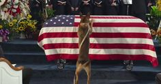 This dog fought in Afghanistan; the Marine was killed and both returned home. The dog attended the funeral and is now in the care of the Marine's family