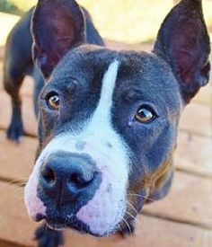 Pictures of Cora - Courtesy Post a Pit Bull Terrier for adoption in Dallas, GA who needs a loving home.