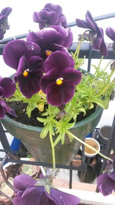 #flowers #pensamiento morado