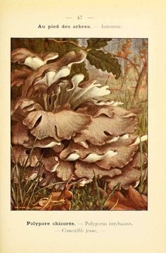 PL  47 - img/planches-dessins champignons/polyporus intybaceus - polypore chicoree - comestible jeune.jpg