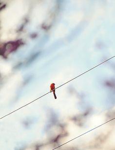 cardinal through the redbud tree