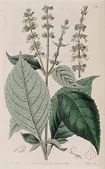 98843 Ocimum gratissimum L. [as Ocimum febrifugum Lindl.]  / Botanical Register…