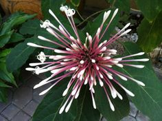 In Thailand, we call this flower Sao Sansai; it is about to bloom here in my garden.