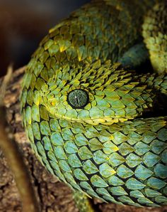African bush viper by springhare, via Flickr