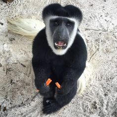 Our funny Colobus monkeys!