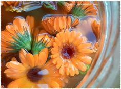Macerando flores de caléndula en aceite de oliva ecológico para hacer jabón de Castilla con caléndula y zanahoria.