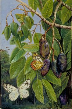 Foliage and Fruit of the Kenari and Butterfly, Java ~ Marianne North