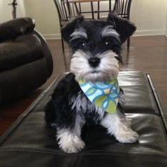When puppies are expected I'll announce on my site. As an extra bonus, it's a lot simpler to teach a Schnauzer puppy not to bite, in place of an older Schnauzer Schnauzer Mix, Schnauzer Grooming, Black Schnauzer, Cute Puppies, Cute Dogs, Miniature Schnauzer Black, Sweet Dogs, Most Popular Dog Breeds, Golden Retriever