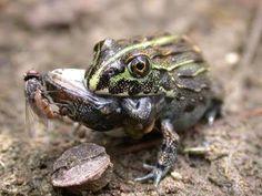 """""""Frog eat frog: exploring variables influencing anurophagy"""" https://peerj.com/articles/1204/"""