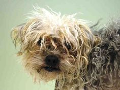 SAFE 5-7-2015 by Sean Casey Animal Rescue --- Manhattan Center PENGUIN – A1034942  MALE, BROWN / BLACK, YORKSHIRE TERR MIX, 5 yrs STRAY – STRAY WAIT, NO HOLD Reason STRAY Intake condition EXAM REQ Intake Date 05/01/2015,