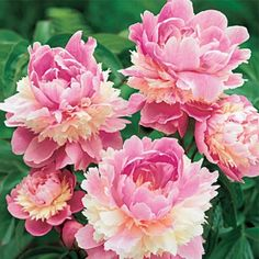 Sorbet Peony - Peony Plants - Sun Perennials  I would love to have some of these in our yard!!!!!